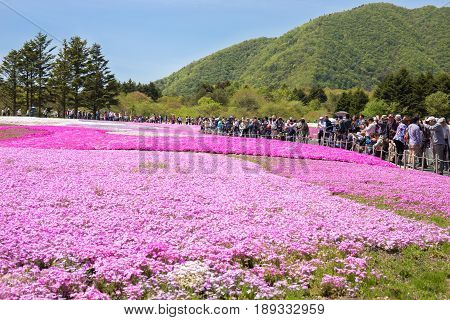 NISHIYAMA JAPAN- 11 MAY. 2015: People and tourist from Tokyo and other cities or international come to Mt. Fuji and enjoy the cherry blossom at spring every year. Mt. Fuji is the highest mountain