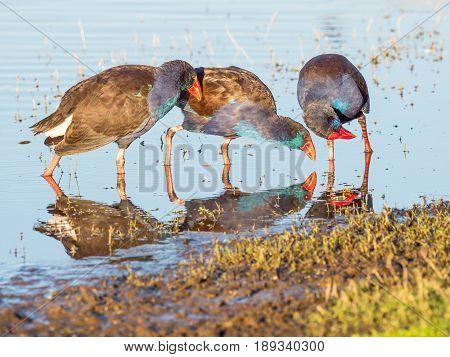 Interaction between three Purple Swamphens (Porphyrio porphyrio) at Herdsman Lake in Perth, Western Australia.