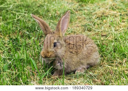grey young rabbit animal is sitting on grass