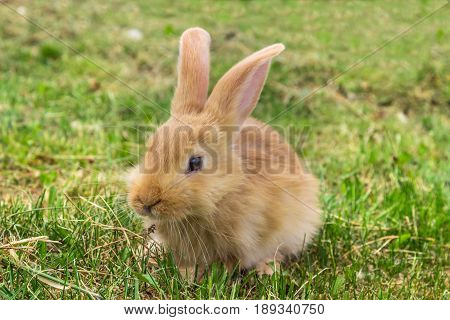 red young rabbit on green grass in spring