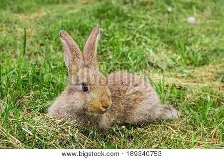 grey rabbit animal on green grass in spring