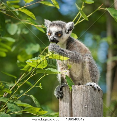 A young lemur katta cub sits on a wooden post and eats a leaf