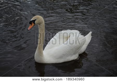 White swan swimming in shallow pond water.