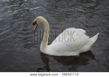 Amazing white swan swimming in a lake.