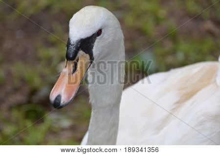 Gorgeous face of a wild white swan with an orange beak.