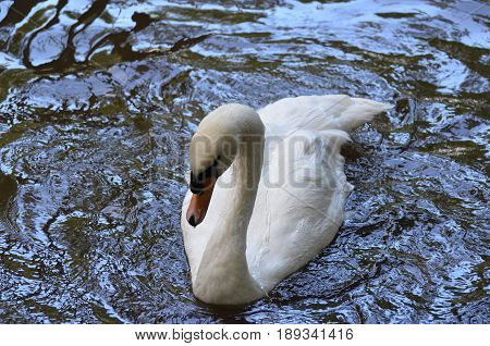 Gorgeous white swan swimming in a shallow pond.