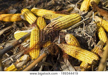 Corncobs. Yellow corncobs on field. Corn harvest