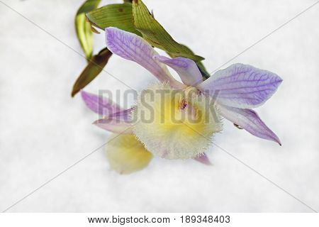 Dendrobium aphyllum, flowers on a white background.