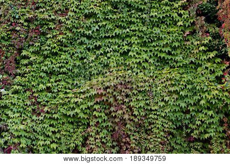 Wall overgrown with creeper. Green leaves textured background.
