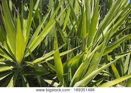 green thickets of yucca in the natural environment