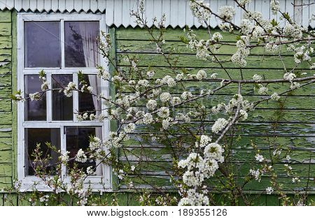 Old plum tree in blossom by the vintage house. Spring time rural background with flowers