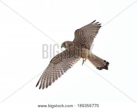 Lesser kestrel in flight isolated on a white background