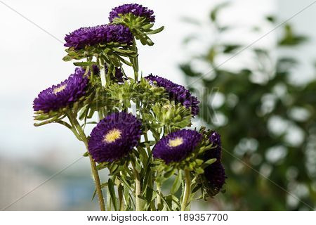 Purple Asters In A Vase On A Windowsill