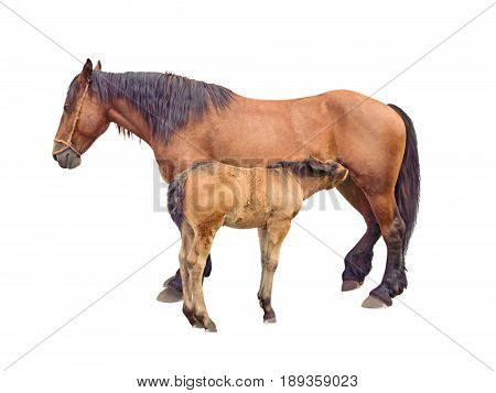 Mare horse feeding baby foal isolated on white