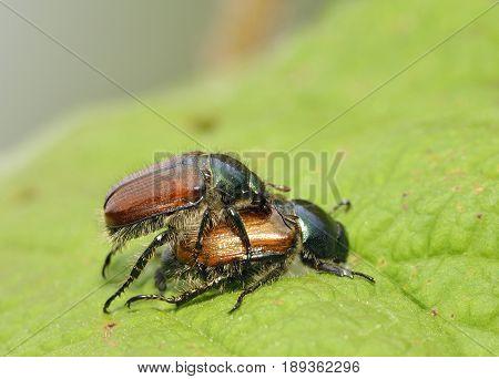 Garden Chafer Beetle