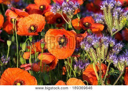 Poppy Flowers field with red poppy flowers in spring