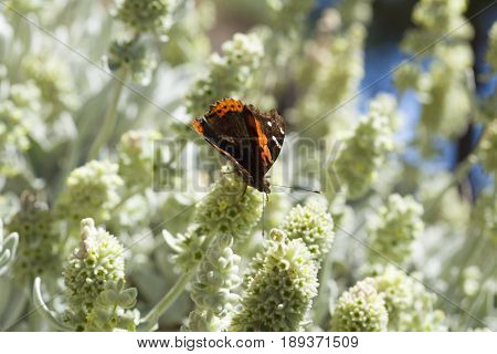 Flora Of Gran Canaria - Sideritis Dasygnaphala