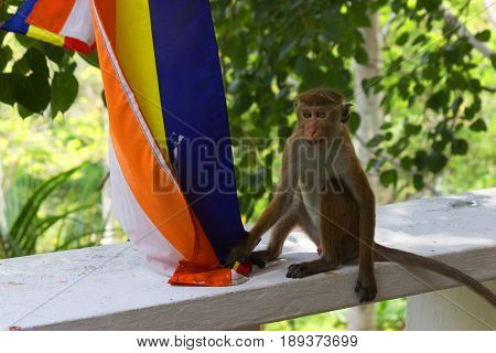 Young Monkey Playing With Buddist Flag