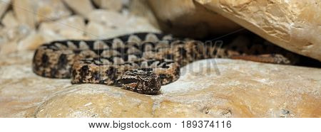 Nose-horned viper (Vipera ammodytes) on a Stone