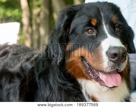 Bouvier Bernese mountain dog portrait in outdoors
