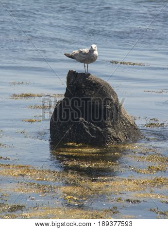 A Seagull sits on a rock in looking for a meal in Mystic Ct.