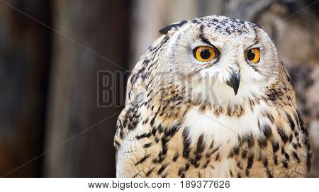 Portrait of an eagle owl at the zoo .