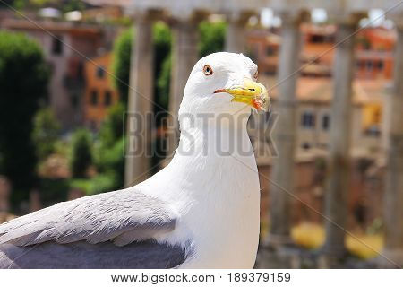 A large white gull with a red stroke around the malicious eye and a beak on which the fluff is stuck. Photo taken in the historical part of Rome, on the ancient ruins of the Forum.