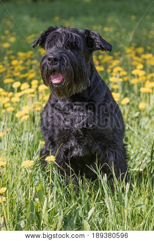 Obedient Giant Black Schnauzer Dog sitting at the blossoming dandelion meadow. Vertically