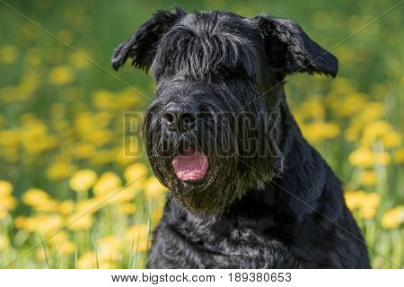 Closeup view of the head of the Giant Black Schnauzer Dog . Blossoming dandelion meadow is in the background.