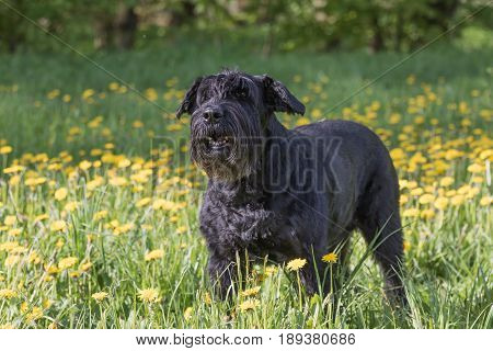 Side view of the barking Giant Black Schnauzer Dog standing at the blossoming dandelion meadow