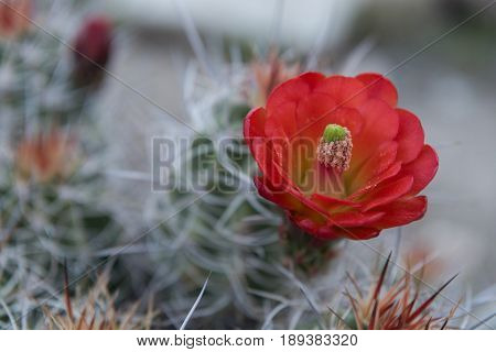 Pollen Clings to Bloom of Claret Cup Cactus in California desert