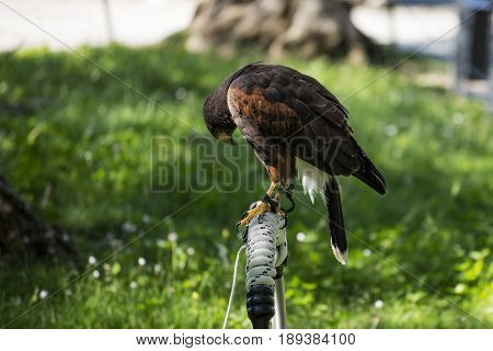 Single Harris buzzard perched on wooden trespole