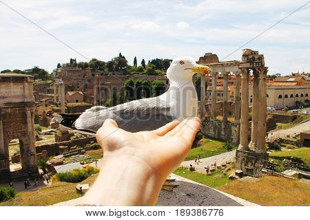 A large white seagull with a red stroke around the eye and a beak, on which the down and a palm stretched to the bird. Photo taken in the historical part of Rome, on the ancient ruins of the Forum.