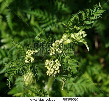 Wet inflorescence of Hemlock or Poison Hemlock (Conium maculatum) after the rain