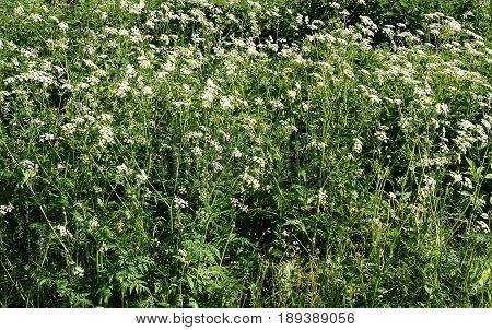 Blooming Hemlock or Poison Hemlock (Conium maculatum) in a meadow
