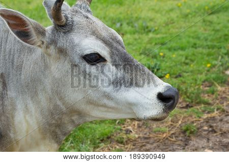 A nice looking Brahman in an open pasture