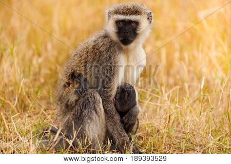 Close-up portrait of vervet monkey with baby in the arid savannah of South Africa