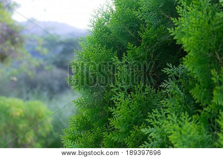 Closeup of green christmas tree with forest background selective focus.
