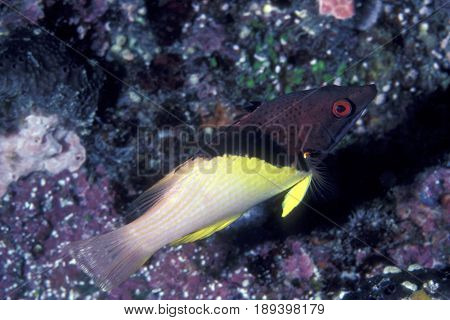 A Coral Hogfish wrasse, (Bodianus mesothorax) on a reef in Palau