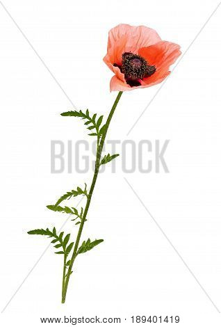 View of a pink poppy on a white background.