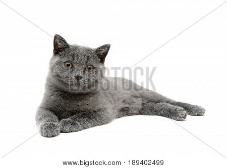 gray kitten isolated on white background. horizontal photo.