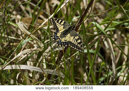 Tiger Swallowtail Butterfly,  Mahaon or  Papilio on a new and dry plant, Plana mountain, Bulgaria