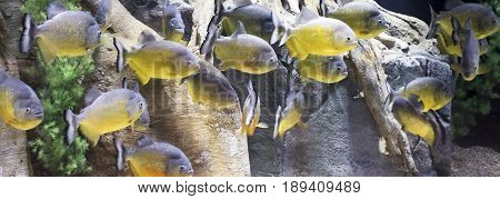 A Close Up of a Piranha School Swimming in an Amazon River