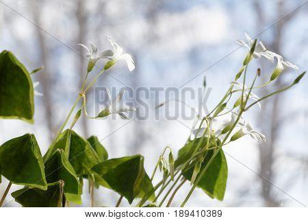 Closeup photo of white spring flowers - Oxalis acetosella