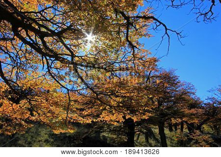 Golden forest trees near the Fitz Roy in autumn, El Chalten, Patagonia, Argentina