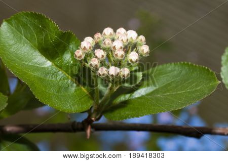buds of black chokeberry in early spring