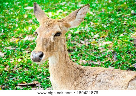Young whitetail deer doe on green grass