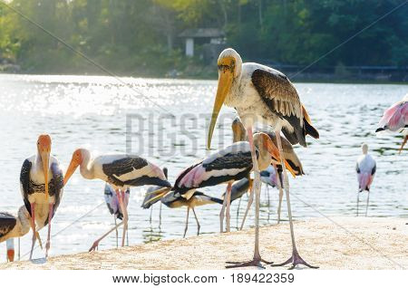 The Painted Stork (Mycteria leucocephala) is a large wading bird in the stork family.