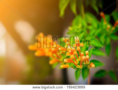 Pyrostegia venusta also commonly known as flamevine[2] or orange trumpetvine is a plant species of the genus Pyrostegia of the family Bignoniaceae originally endemic to Brazil but nowadays a well-known garden species