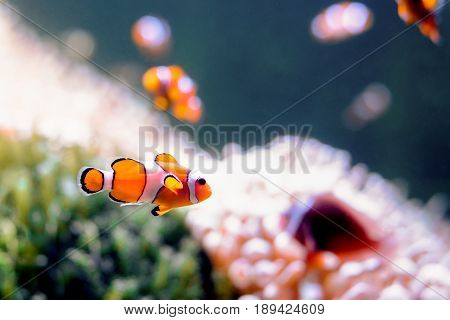 Clownfish Amphiprioninae in aquarium tank with reef as background.
